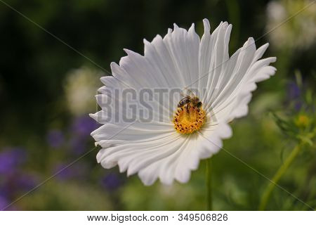 A Bee Working On White Cosmos Flower
