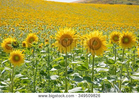 Sunflowers In A Field Until The Horizon, In Vejer De La Frontera (cadiz, Andalusia, Spain, Europe)