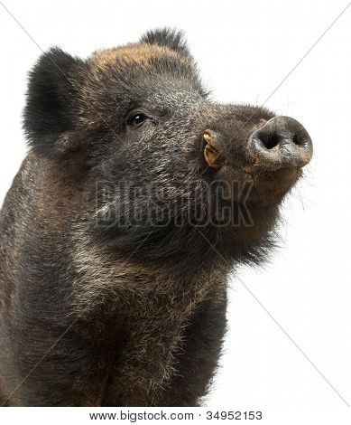 Wild boar, also wild pig, Sus scrofa, 15 years old, close up against white background