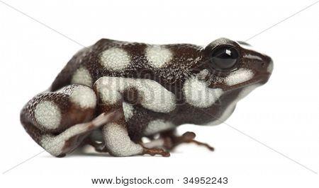 Mara?�±??n Poison Frog or Rana Venenosa, Ranitomeya mysteriosus, against white background