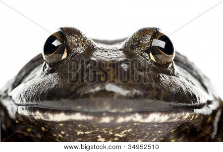 American bullfrog or bullfrog, Rana catesbeiana, portrait and close up against white background