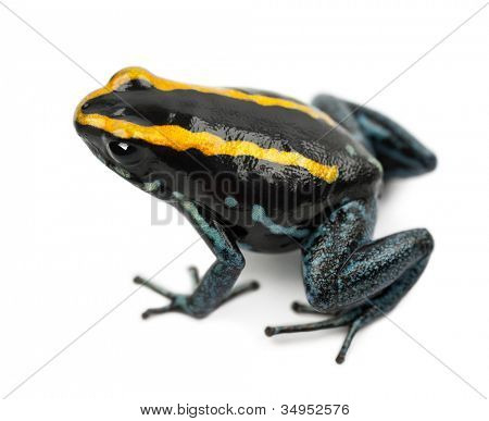 Golfodulcean Poison Frog, Phyllobates vittatus, against white background