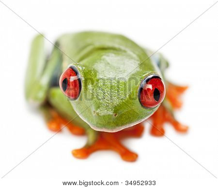 Red-eyed Treefrog, Agalychnis callidryas, portrait and close up against white background