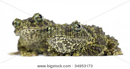 Two Mossy Frogs, Theloderma corticale, also known as a Vietnamese Mossy Frog, or Tonkin Bug-eyed Frog, portrait against white background