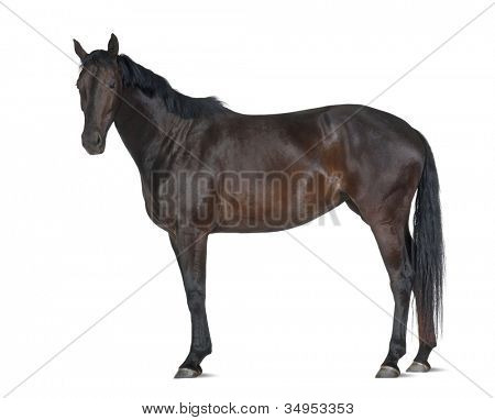 Belgian Warmblood horse, 5 years old, portrait standing against white background