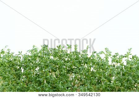 Garden Cress On White Background.  Young Cress, Lepidum Sativum, Also Called Mustard And Cress, Gard