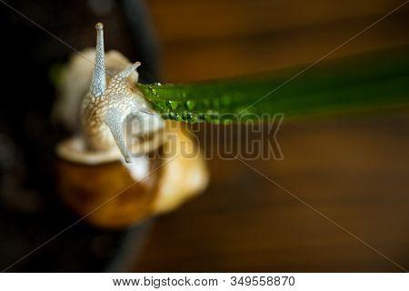 Healing Mucus. Cosmetics And Snail Mucus. Snail Farm Concept. Cute Snail Near Green Plant. Natural R