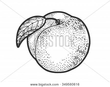 Peach Fruit Sketch Engraving Vector Illustration. T-shirt Apparel Print Design. Scratch Board Imitat