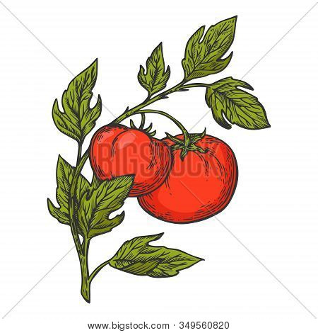 Tomato Plant Branch Sketch Engraving Vector Illustration. T-shirt Apparel Print Design. Scratch Boar