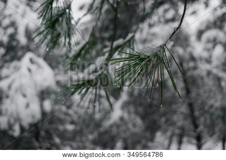 Detail Of A Snowy Pine Branch. Concept Of Background And Nature