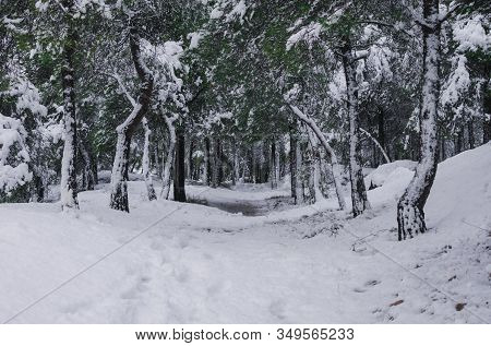 Path Of A Snowy Pine Forest. Nature And Winter Concept