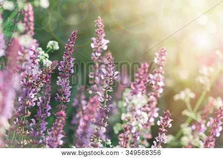 Purple And White Flowers Flowering In Meadow, Beautiful Flowers Lit By Sunlight