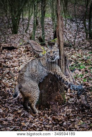 Bobcat Feline Caught By Trapper In Live Trap.  Wildlife Predator Trapped In Foothold Trap. Managemen