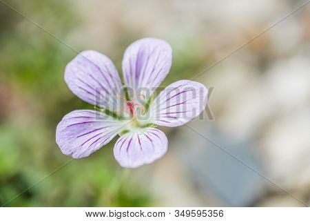 native species of Single Flower Cranesbill living at Hehuan Mountain in the daytime