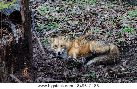 Red Fox Canine Caught By Trapper In Live Trap. Wildlife Trapped In Foothold Trap. Management And Rec