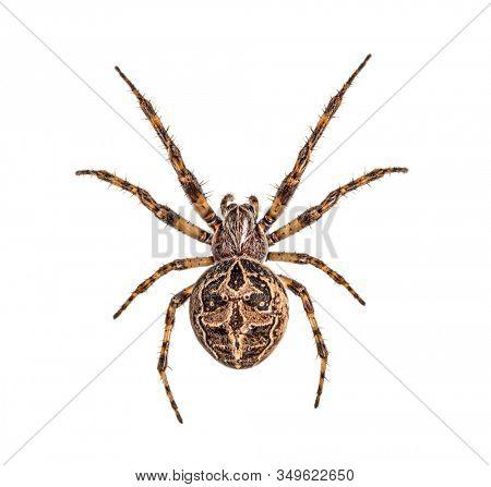 Diadem spider on its web, Araneus diadematus, isolated