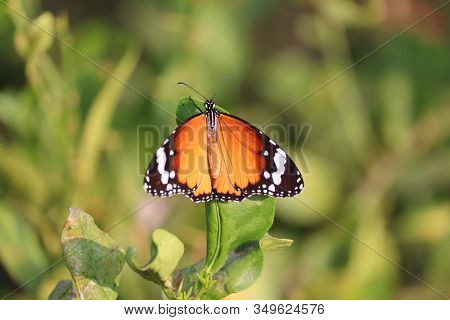Portrait Of A Orange Butterfly On Green Leaf Of Lemon Tree In The Nature , Butterfly Wings, Outdoor