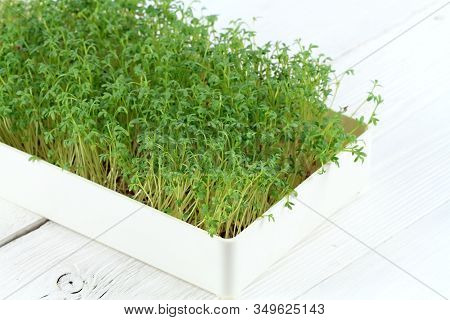 Garden Cress In A Box On  White Background.  Young Cress, Lepidum Sativum, Also Called Mustard And C