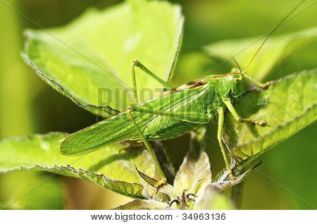 Closeup of a great green Bush Cricket (Tettigonia viridissima) poster