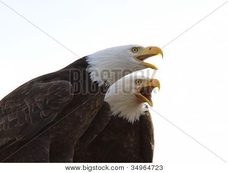 Pair Of Bald Eagles Singing