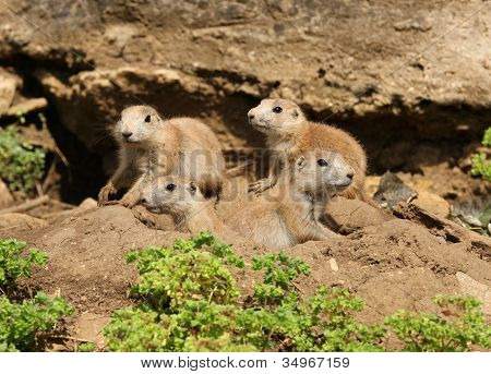 Black-Tailed Prarie Dogs