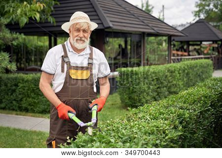 Positive Senior Man With Grey Beard Wearing Summer Hat Cutting Overgrown Bushes With Scissors. Elder