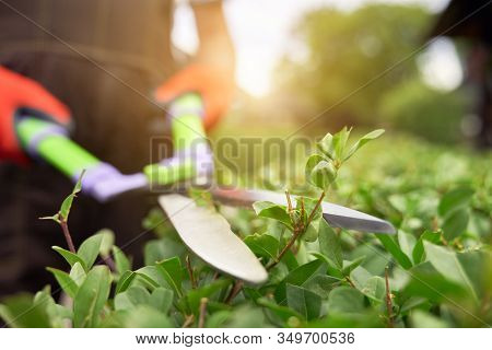 Selective Focus Of Male Gardener Using Big Scissors To Cut Bushes In Summer. Close Up Of Man In Unif