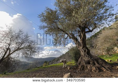 A Landscape Of The Mountains Near Jerusalem, Israel, Including An Old Olive Tree In The Foreground,