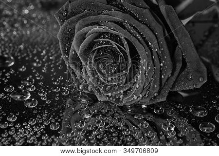 Black Rose Flower With Waterdrops On Black Background.varying Shades Of Black And Reflection Of Ligh