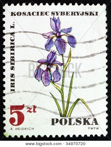 Postage stamp Poland 1967 Iris Sibirica, Medical Plant