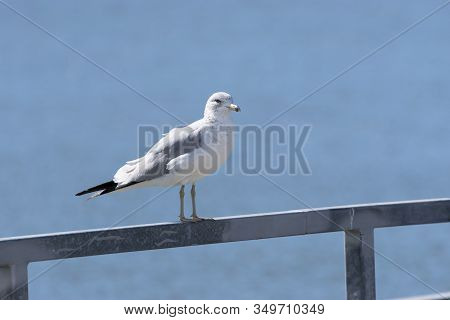 A Solitary Ring Billed Gull Standing On The Metal Railing Of A Pier At A Dock On A Sunny Afternoon W