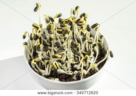 Sunflowers Sprouting In A White Bowl And Growing In Potting Compost. Sprouts And Microgreen Of Helia
