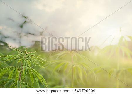 Marijuana Field And Sunday. Marijuana Leaves, Cannabis On A Green Background, Beautiful Background,