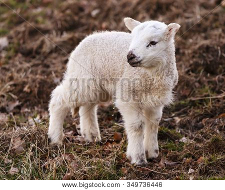 English Lamb Urinating.  A Young Lamb Urinates Beside Ullswater, Cumbria In The English Lake Distric