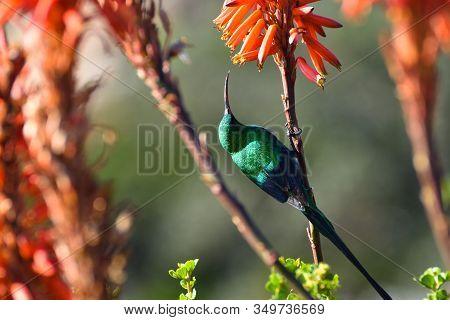 Malachite Sunbird Perched On Aloe Flower Stem (nectarinia Famosa), Cape Town, South Africa