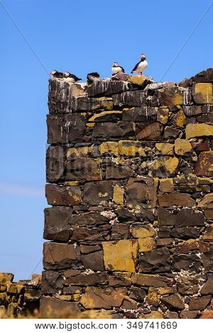Birds Roosting.  Puffins Roosting On The Farne Islands, Northumberland In North East England.