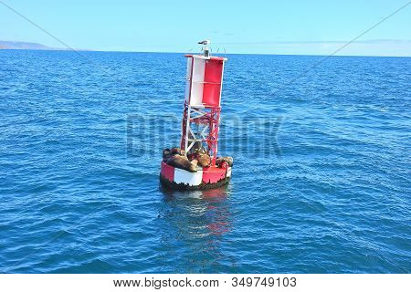 California Sea Lions Resting On A Red And White Buoy, Floating In The Coastal Waters Of The Pacific