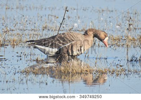 Greater White-fronted Goose Foraging For Aquatic Plants And Insects In The Shallows Of The Merced Na