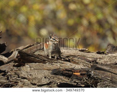 Alpine Chipmunk Watching For Danger In The Western Sierra Nevada Mountains, California.