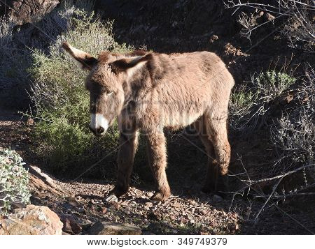 Young Wild Burro Roaming The Chemehuevi Mountains Wilderness In California.