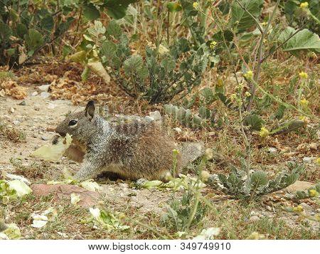 Ground Squirrel Eating Pieces Of Lettuce, Carpinteria, California.
