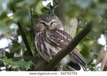 Northern Saw Whet Owl Bird At Delta Bc Canada