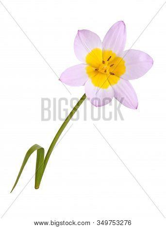 Single Flower Of The Purplish-pink And Yellow Tulip Cultivar Lilac Wonder (tulipa Saxatilis Subspeci