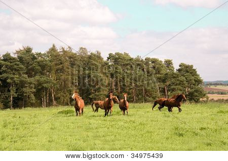 Horses Run  Across The Meadow.