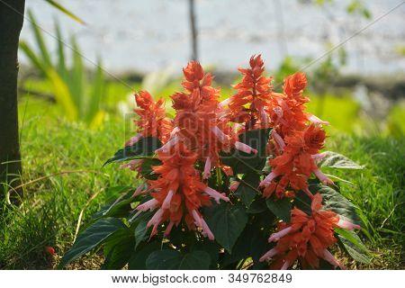 Close Up Of  Red Salvia Flower Plant, Perennial Salvia, Nemorosa, Salvia Divinorum, Salvia Officinal