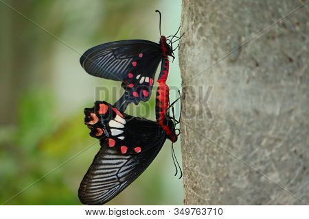 Close - Up Of Two Black Male Or Female Butterfly Insect Meeting On Tree In Summer Season, Outdoor Bu