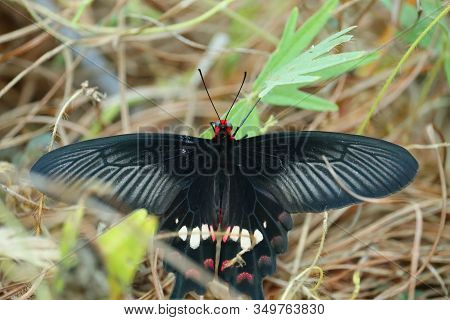 Closeup Of A Black Wings Male Butterfly Insect Resting On Green Leaf On Ground Backgrounds, Outdoor