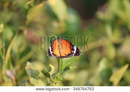 Close Up Of A Yellow Male Butterfly Insect Resting On Lemon Leaf In Butterfly Garden Background , Ou