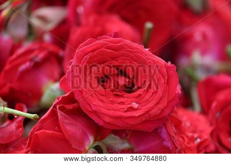 Close Up Of Red Rose On Roses Flowers In Street Rose Market In Chennai , Street Rose Flower Market,
