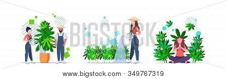 Set Farmers Watering Cannabis Girl Enjoying Narcotic Effect Industrial Hemp Plantation Growing Marij